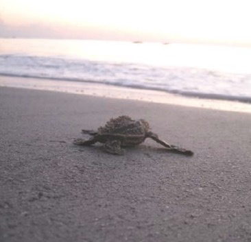 Hobe Sound National Wildlife Refuge is to serve as a sanctuary for green sea turtles and loggerhead turtles